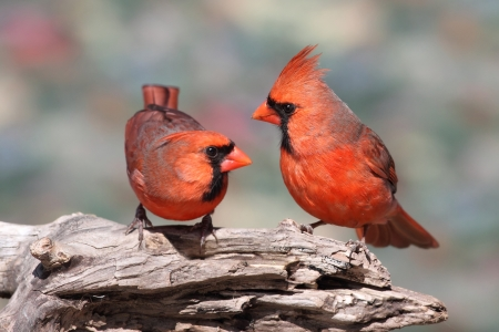 songbird: Pair of Northern Cardinals (cardinalis) perched on a branch Stock Photo