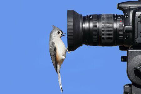 titmouse: Tufted Titmouse (Baeolophus bicolor) perched on a camera