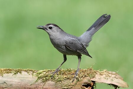 Gray Catbird (Dumetella carolinensis) on a mossy log with a green background Stock Photo - 14105508