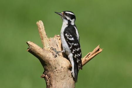 downy woodpecker: Downy Woodpecker (Picoides pubescens) on a perch with a green background Stock Photo