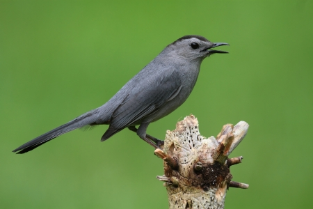 catbird: Gray Catbird (Dumetella carolinensis) on a branch with a green background Stock Photo