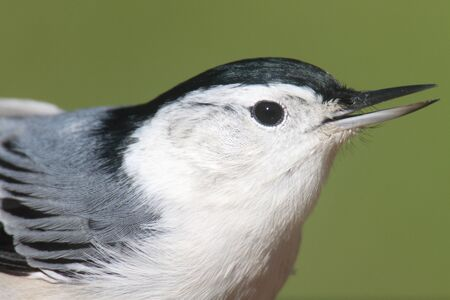 carolinensis: Close-up of a White-breasted Nuthatch (sitta carolinensis) with a green background