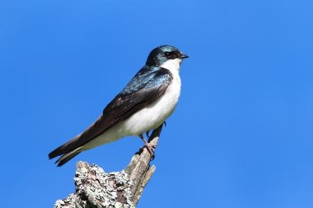 Tree Swallow (tachycineta bicolor) op een koe met een blauwe hemel achtergrond