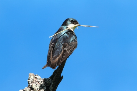 Tree Swallow (tachycineta bicolor) on a stump with nesting material and a blue sky background