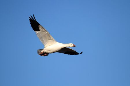 flying geese: Snow Goose  chen caerulescens  in flight against a blue sky Stock Photo