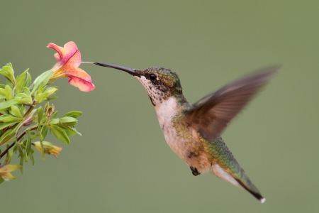 Ruby-throated Hummingbird  archilochus colubris  in flight at a flower with a colorful background