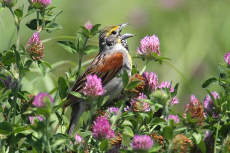 Dickcissel (Spiza americana) singing in a bunch of flowers in a field