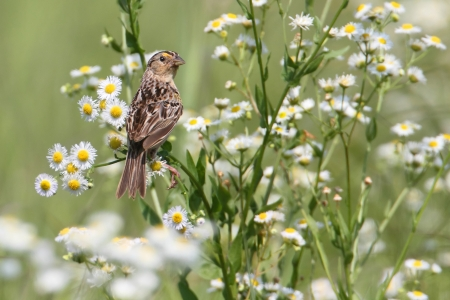 threatened: Threatened Grasshopper Sparrow (Ammodramus savannarum) in a bunch of flowers
