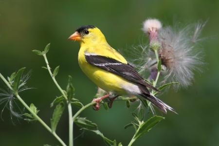 녹색 배경을 엉 겅 퀴 꽃에 먹는 남성 미국 Goldfinch (Carduelis tristis)