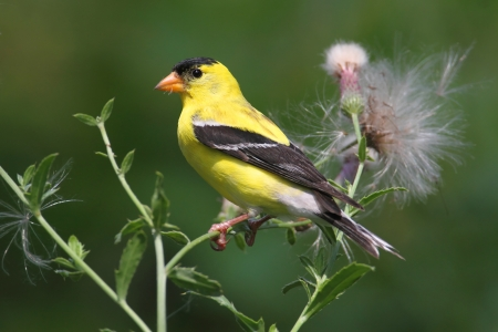 Male American Goldfinch (Carduelis tristis) eating on a thistle flower with a green background photo