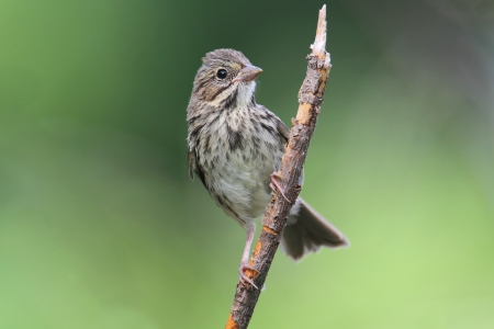 Juvenile Song Sparrow (Melospiza melodia) in a bush with a green background Imagens