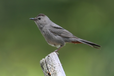 gray catbird: Gray Catbird (Dumetella carolinensis) on a branch with a green background Stock Photo
