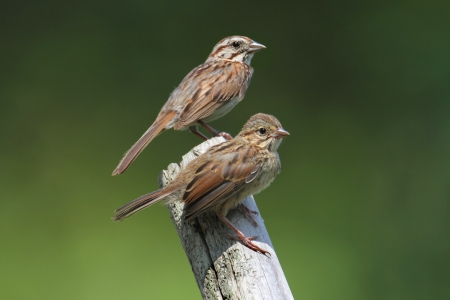 Juvenile Song Sparrow (Melospiza melodia) with adult on a branch with a green background