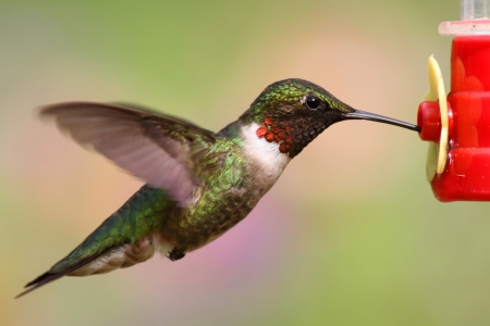Juvenile male Ruby-throated Hummingbird (archilochus colubris) in flight at a feeder photo