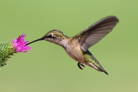 Juvenile Ruby-throated Hummingbird (archilochus colubris) in flight with a thistle flower and a green background photo