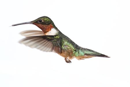 colibries: Ruby-Colibrí Garganta (archilochus colubris) en vuelo aislado en un fondo blanco Foto de archivo