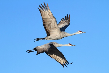 Sandhill Cranes (Grus canadensis) in flight at Bosque del Apache in New Mexico photo