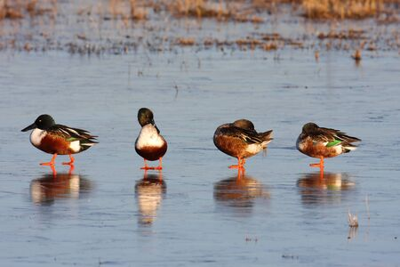 northern shoveler duck: Male Northern Shovelers (Anas clypeata) standing on ice in Bosque Del Apache NWR Stock Photo