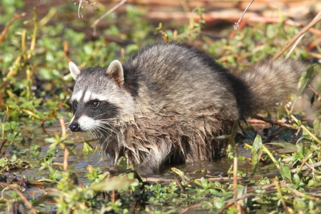 procyon: Baby Raccoon (Procyon lotor) searching for food in a stream