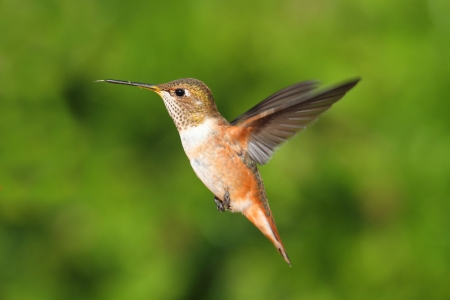 rufous: Rufous Hummingbird (Selasphorus rufus) in flight