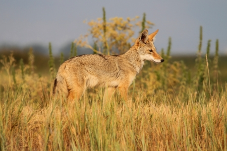 canis: Western Coyote (Canis latrans) in northern California