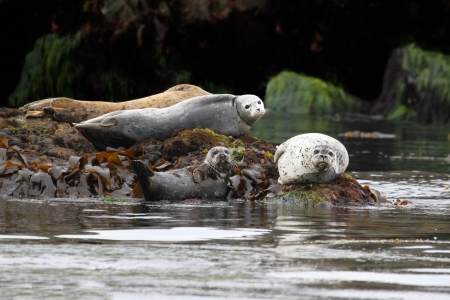 basking:  Harbor Seals (Phoca vitulina) basking in the sun by the Pacific Ocean