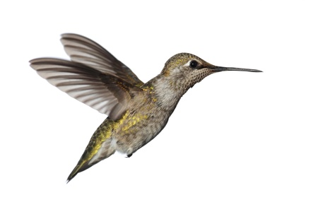 anna: Female Annas Hummingbird (Calypte anna) in flight isolated on a white background Stock Photo