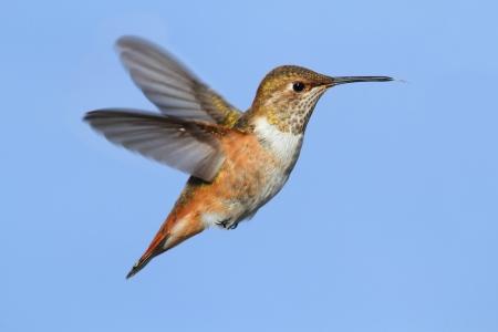 rufous: Rufous Hummingbird (Selasphorus rufus) in flight on a blue background