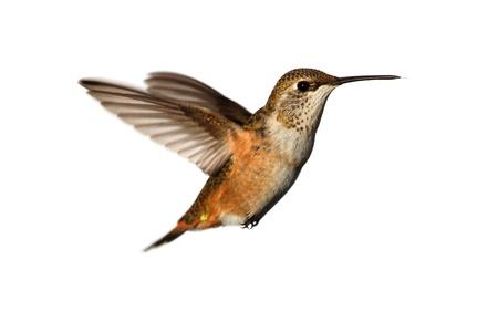 흰색 배경에 비행 isoloated에서 Rufous Hummingbird (Selasphorus rufus)