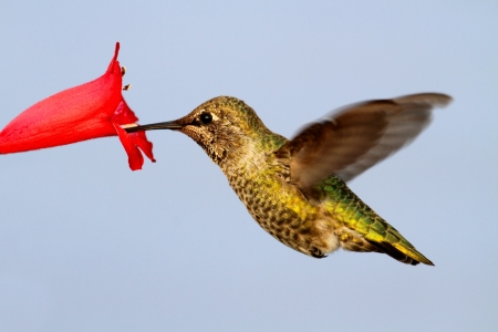 anna: Annas Hummingbird  Calypte anna  in flight with a flower and a blue background Stock Photo