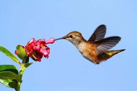 花で飛行アカフトオハチドリ (Selasphorus ルーファス)