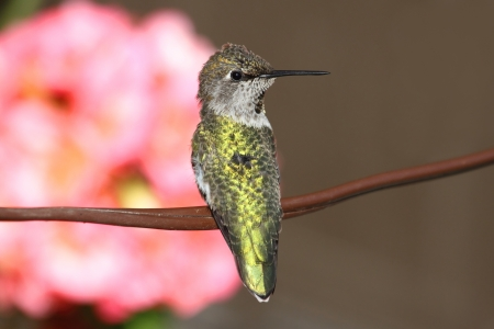 anna: Annas Hummingbird (Calypte anna) perched with flowers in the background