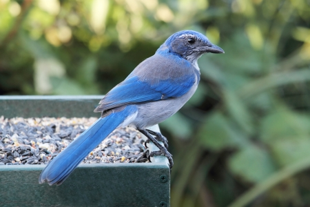 blue jay bird: Western Scrub-Jay  Aphelocoma californica  perched on a feeder Stock Photo