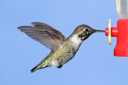 feeder: Annas Hummingbird (Calypte anna) in flight at a feeder with a blue background Stock Photo