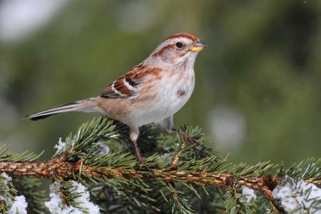 American Tree Sparrow  Spizella arborea  on an evergreen in winter Standard-Bild