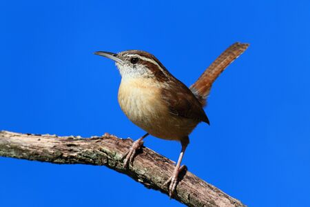 thryothorus: Carolina Wren  Thryothorus ludovicianus  on a branch with a blue sky background