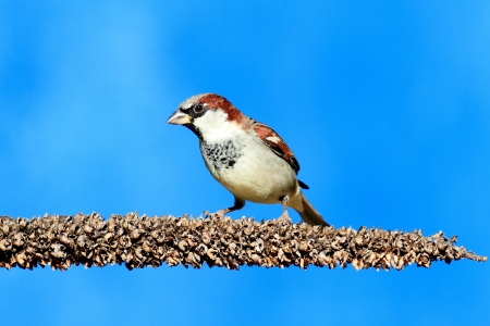 domesticus: Male House Sparrow (Passer domesticus) perched with a blue background Stock Photo