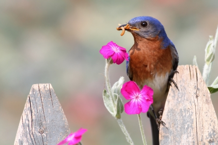 Male Eastern Bluebird (Sialia sialis) on a fence with flowers photo