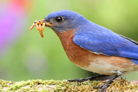 songbird: Male Eastern Bluebird (Sialia sialis) on a branch with a worm Stock Photo