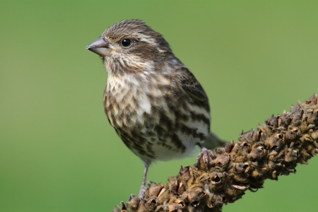 Female Purple Finch (Carpodacus purpureus) perched with a green background photo