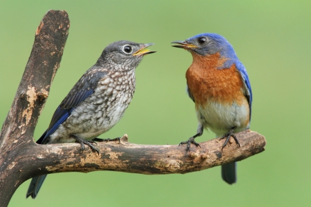 fledgling: Male Eastern Bluebird (Sialia sialis) with his baby Stock Photo