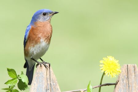 Male Eastern Bluebird (Sialia sialis) on a fence with dandilion flowers photo