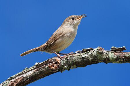 troglodytes: House Wren (troglodytes aedon) on a branch singing with a blue sky Stock Photo