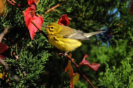 warbler: Prairie Warbler (Dendroica discolor) perched in a tree in fall