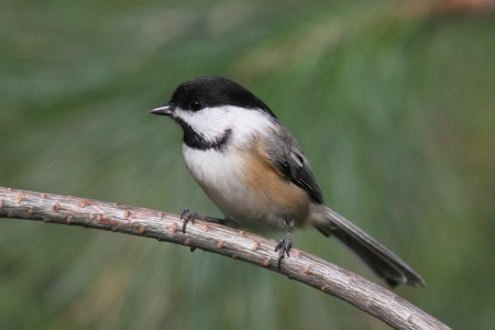 capped: Black-capped Chickadee  poecile atricapilla  on a pine branch and  a green background