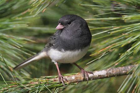 songbird: Dark-eyed Junco perched on pine branch Stock Photo