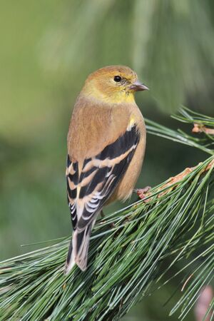 goldfinch: American Goldfinch  Carduelis tristis  perched with a green background