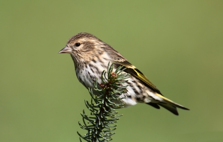 Pine Siskin  Carduelis pinus  perched on a pine branch