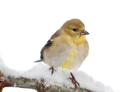 goldfinch: American Goldfinch (Carduelis tristis) perched in a tree with snow