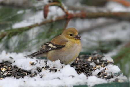 goldfinch: American Goldfinch (Carduelis tristis) perched on a feeder with sunflower seeds and snow
